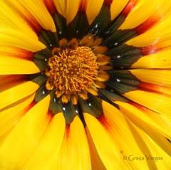 g a z a n i a ( Graa Vargas ) Tags: flower yellow explore gazania 492 graavargas 2016graavargasallrightsreserved 239052280416 mar212016