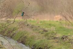 HNS_1025 IJsvogel : Martin-pecheur d'Europe : Alcedo atthis : Eisvogel : River Kingfisher