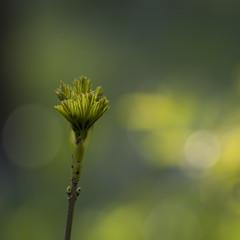 Déploiement *---- ° (Titole) Tags: green leaves spring branch bokeh squareformat branche éclosion bourgeon friendlychallenges titole nicolefaton
