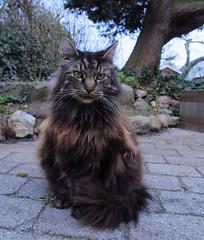 Elvis (Anna's 50) Tags: cat feline friend pet housecat animal canong1x powershotg1x g1x canonpowershot canon compact