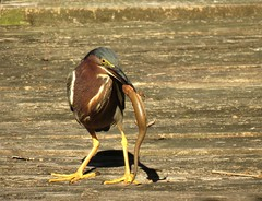 Green Heron (Gary Helm) Tags: usa green bird heron nature water birds animal yellow outside fly us backyard image florida outdoor wildlife ngc flight feathers catching perch perched skink polkcounty hunched greenheron lakewales toolusing photoghraph slenderlegs ghelm4747 garyhelm