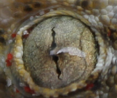 Dr. Jeckil (ǧinn) Tags: pet eye animal eyes focus reptile snake lizard jeko geco