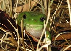 Green Tree Frog (Litoria caerulea) (Heleioporus) Tags: new tree green wales south frog western caerulea litoria