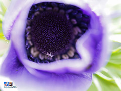 Anemone with unknown bug. (FotoCheez) Tags: life seattle christmas camera city bridge flowers blue autumn winter light red summer test music dog house lake fish snow cold flower color macro building green bird art fall love ice beach beautiful grass leaves animal fog architecture clouds forest butterfly river garden landscape fun island happy fire coast boat spider washington leaf spring pretty working prism insects screen hike bugs bee anemone honey refraction roll seahawks fx trump cannabis gsd fotocheez
