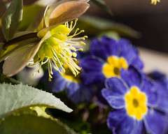 First Day of Spring (Gold Element Photography) Tags: flowers blue macro colors beauty yellow closeup petals spring stem colours purple vivid stamens blooming