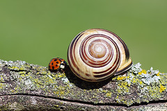 Wakey! Wakey! (Vie Lipowski) Tags: nature bug insect moss wildlife beetle snail ladybird ladybug ladybeetle detritivore
