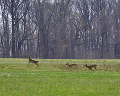 Deer on the Run (Daveyal_photostream) Tags: trees motion nature beauty field grass animals landscape movement nikon outdoor awesome running deer grassland d600 nikor awesomeshots mycamerabag mygearandme meandmygear