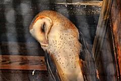 Sleeping Barn Owl (BDM17) Tags: barn zoo al birmingham alba alabama owl perch tyto