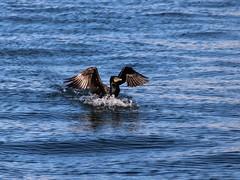 Double Crested Cormorant (jmaxtours) Tags: toronto landing cormorant torontoontario doublecrestedcormorant torontoharbour