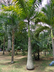 (sftrajan) Tags: palm botany botanicgarden botanicalgarden jardnbotnico  palmetum  jardnbotnicodemedelln sonydsch90 jardnbotnicojoaqunantoniouribe jardnbotnicodemedellin botanicalgardenofmedelln medellnbotanicgarden