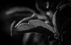 rebirth (auntneecey) Tags: light macro monochrome backlight dark mono leaf hmbt