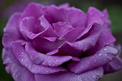 Afternoon Rain #07 (dleany) Tags: macro rose dof raindrops 100mmf28l 5dmkii