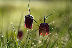 Chess Flowers (mattrkeyworth) Tags: bokeh dew morgentau snakesheadfritillary fritillariameleagris sal135f18z obersinn chessflower sonya7rii