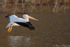 Rubino American White Pelican in flight 20160326 Lake Hodges CA 107 (Ryan Rubino) Tags: ca white lake bird water pelican landing american impact touchdown hodges braking pelecanus erythrorhynchos
