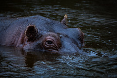 cathyb-20160428-IMG_8999.jpg (madelinefluffbum) Tags: zoo oz australia melbourne victoria vic hippos downunder werribeezoo plainkeywords