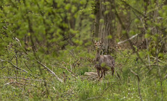 La mue (Eric Penet) Tags: wild france nature animal wildlife avril printemps roe roedeer fort nord chevreuil mammifre sauvage faune femelle cervid avesnois mormal chevrette locquignol