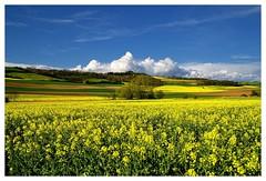 20160424-171110 (lichtschattenjaeger) Tags: yellow landscape gold diesel bio eifel gelb raps biodiesel vulkan getreide gerste weizen benzin hafer biosprit