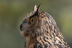 Oldie (Luis-Gaspar) Tags: portrait bird portugal face animal nikon iso400 retrato ave owl f56 passaro falconry bufo eurasianeagleowl mafra bubobubo d60 1400 eagleowl buforeal tapadademafra falcoaria 55300