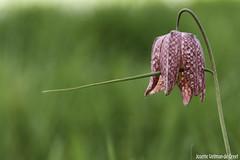 DN9A7748 (Josette Veltman) Tags: flower netherlands nederland rare bloemen zwolle overijssel bloem pinksterbloem zeldzaam kievitsbloem zwolsetulp
