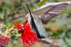 IMG_3195.jpg (ashleyrm) Tags: travel arizona birds museum sonora desert tucson hummingbirds birdwatching avian tucsonarizona hummingbirdaviary