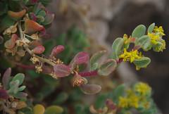 Tetragonia decumbens, Halls Head, Mandurah, WA, 25/03/16 (Russell Cumming) Tags: plant westernaustralia mandurah aizoaceae tetragonia hallshead tetragoniadecumbens