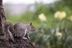 Spring has sprung (kirsten.cooper) Tags: york gardens museum spring squirrel tamron 70200 f28