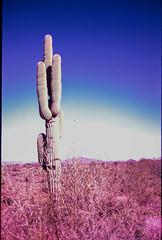 Lomo LC-A+, Fuji Sensia II (K e v i n) Tags: arizona cactus film nature analog 35mm outside lomography desert az lomolca scan saguaro sonorandesert fujisensiaii100 blackcanyontrail epsonv500 blackcanyonnationalrecreationtrail