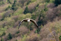 Beuteflug (markus_langlotz) Tags: bird wings flight wing vogel flug flgel