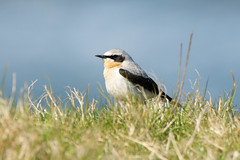 Wheatear (Shane Jones) Tags: bird nikon migrant wheatear tc14eii 200400vr d7200