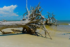 Coastal GeorgiaI (tvdflickr) Tags: trees beach water georgia coast sand nikon driftwood coastal shore d610 nikond610 photosbytomdriggers photobytomdriggers thomasdriggersphotography