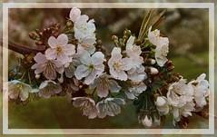 April Love (maureen bracewell) Tags: france texture nature closeup spring burgundy april watercolour vincelles maureenbracewell awesomeblossoms