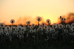 Dandy Sunset (Jane Inman Stormer) Tags: sunset orange white flower field rural landscape spring weeds farm low country grow indiana ground dandelion seeds backlit