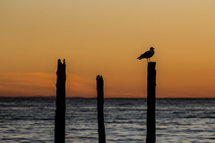 ([p.thiers]) Tags: chile sunset lake bird water lago atardecer agua ave puertofonck