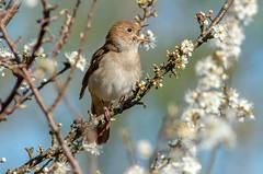 JWL8157 Nightingale..... (jefflack Wildlife&Nature) Tags: nature birds countryside woodlands wildlife ngc npc avian nightingale songbirds wildbirds thrushes