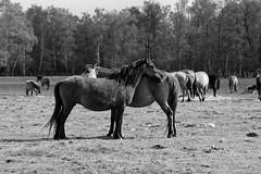 Wild Horses in black-and-white - Foal - 2016-027_Web (berni.radke) Tags: horse pony herd nordrheinwestfalen colt wildhorses foal fohlen croy herde dlmen feralhorses wildpferdebahn merfelderbruch merfeld przewalskipferd wildpferde dlmenerwildpferd equusferus dlmenerpferd dlmenpony herzogvoncroy wildhorsetrack