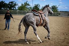 Legs (Calpastor) Tags: california ranch horse college barn training silver grey farm gray arena ag western stable broke colt pleasure equine visalia quarterhorse ironstar lunging gelding tulare