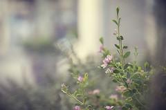 Happy Friday... {Explore} (Graella) Tags: flowers music blur flores primavera spring outdoor desenfoque chopin melodies