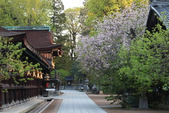 Sakura at Kitanotenmangu,Kyoto (yopparainokobito) Tags: canon eos kyoto   cherryblossom sakura m3  kitanotenmangu