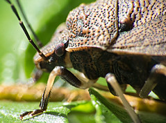 Beetle in profile (LSydney) Tags: macro insect beetle