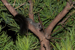 Brush-Tailed Phascogale (Phascogale tapoatafa) (Brendan Schembri) Tags: mammal small australian brush marsupial westernaustralia tailed phascogale brushtailed threatened dasyurid tapoatafa