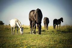 Caballos Salvajes (Orfeolp) Tags: horses naturaleza nature caballo country campo luznatural micronikkor105mmf28ais nikond700