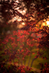 I Saw Red (gregmolyneux) Tags: trees bokeh japanesemaple crossprocessing lowkey goldenhour