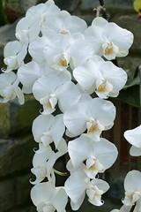 Panasonic FZ1000, Orchids, Botanical Gardens, Montral, 24 April 2016 (10) (proacguy1) Tags: orchids montral botanicalgardens panasonicfz1000 24april2016