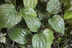 H504_3172 (bandashing) Tags: england plant green leaves garden manchester leaf vine foliage sylhet bangladesh climbers socialdocumentary paan stimulant betelleaf aoa piperbetle bandashing akhtarowaisahmed