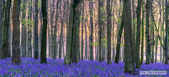 God's carpet [explored 2016-04-28] (John Fn Photography) Tags: uk greatbritain morning pink flowers blue trees england sun plant flower beautiful forest sunrise carpet dawn golden countryside woodlands nikon europe estate purple unitedkingdom britain gb growing trunks straight nationaltrust forestfloor magical bluebell hertfordshire perennial d800 herts 2470mm 2470mmf28 hyacinthoidesnonscripta countryestate ashridgeforest manfrottotripod ashridgeestate commonbluebell ringshall nikkor2470mm constantaperture nikonfx