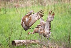 Courting cranes (LastBestPlace) Tags: wisconsin spring sandhillcranes janekaufman ottawalakestatepark