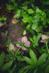 Lenten Rose (kecotting) Tags: plants flower rain canon garden outdoors raindrops lentenrose hersheygardens