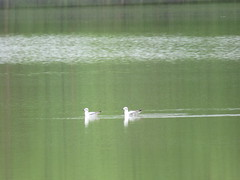 A Pair of Bonaparte's Gulls Still in Winter Plumage (jdf_92) Tags: winter bird spring gull indiana bonapartesgull chroicocephalusphiladelphia northforkmarsh