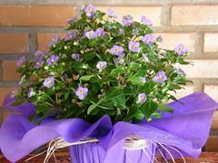 purple ( Graa Vargas ) Tags: flower purple graavargas 2016graavargasallrightsreserved