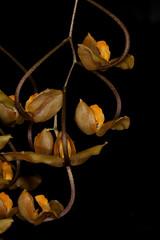 Gongora galeata 2016-01-22 01 (JVinOZ) Tags: orchid gongora orchidspecies